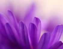 梦幻的紫色花瓣局部特写摄影图片