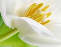 白色鲜花花蕊局部特写摄影图片
