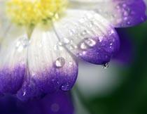 紫色鲜花上的露珠局部特写摄影图片