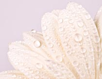 白色花瓣上的水珠局部特写摄影图片