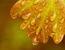秋天橡树叶上的水珠近景摄影图片