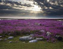 在乱石堆旁的紫色花田影楼背景图片