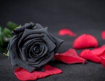 美丽红色花瓣与黑玫瑰特写摄影图片
