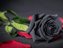 美丽红色花瓣与黑玫瑰花枝摄影图片