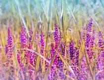 梦幻唯美的紫色薰衣草花海摄影图片