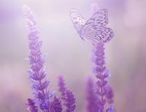 唯美的紫色薰衣草与蝴蝶摄影图片