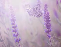 飞舞在薰衣草花枝中的蝴蝶摄影图片