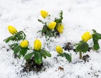 严寒冬季雪地里的植物花朵摄影图片