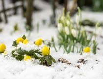 冬季雪地里的美丽植物鲜花摄影图片
