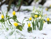 冬天雪地里的美丽植物花朵摄影图片