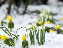 寒冬雪地里的美丽植物花朵摄影图片
