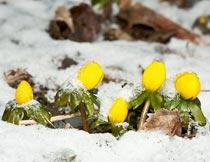 冬天雪地里的黄色植物花朵摄影图片
