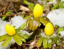 雪地里美丽的黄色植物花朵摄影图片