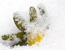 藏在雪里的黄色植物花朵摄影图片