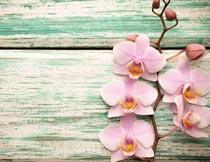 绿色木板上的粉色蝴蝶兰摄影图片