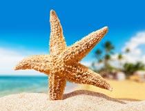 海边站立在沙滩上的海星摄影图片
