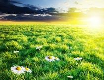 夕阳下草丛里的白色小雏菊摄影图片