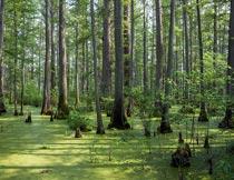 森林里荒无人烟的沼泽地摄影图片