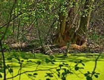 茂密藤蔓枯树下的沼泽湿地摄影图片