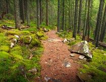茂密的树林苔藓石头风光摄影图片