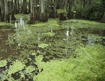 森林深处的沼泽湿地风光摄影图片