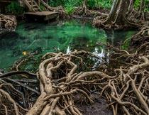 裸露在水面泥土上的老树根摄影图片