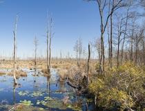 蓝天下的树木与沼泽湿地摄影图片