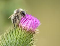 鲜花上忙着采蜜的蜜蜂特写高清图片