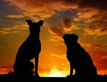夕阳余晖下的两只狗狗剪影高清图片