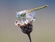 在花朵上做停留的蜻蜓特写高清图片