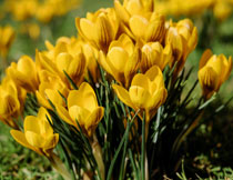 黄色的番红花植物特写摄影高清图片