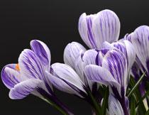 黑色背景的紫色番红花植物高清图片