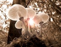 树林里的蘑菇微距特写摄影高清图片