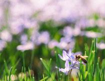 鲜花植物上采蜜的蜜蜂高清图片
