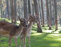 树林草地上的两只小鹿高清图片