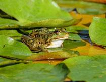 荷叶上的青蛙动物特写摄影高清图片