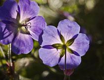 阳光照耀下的紫色小花摄影高清图片