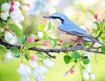 登上鲜花树枝的麻雀摄影高清图片