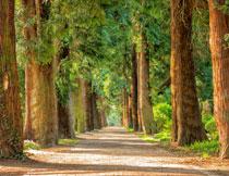 公园林荫道两边的大树高清图片