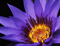 紫色花瓣黄色花蕊特写高清图片