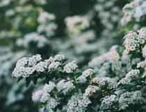 树上的白色花朵特写摄影高清图片