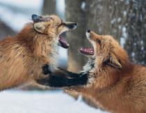 雪地上大声嘶吼的两只狐狸高清图片