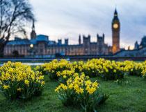 草地上的黄色水仙花摄影高清图片