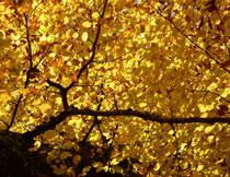 树枝上的金黄色树叶高清图片