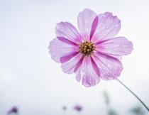 挂着水珠的一朵花摄影高清图片