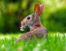 草丛中保持警惕的野兔高清图片