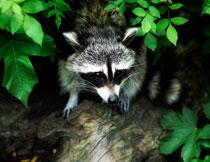 在绿叶掩映下的小浣熊高清图片