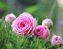 草丛中的粉红花朵摄影高清图片