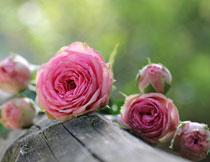 粉红色花朵近景特写摄影高清图片