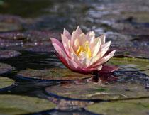 池塘中的荷花特写摄影高清图片